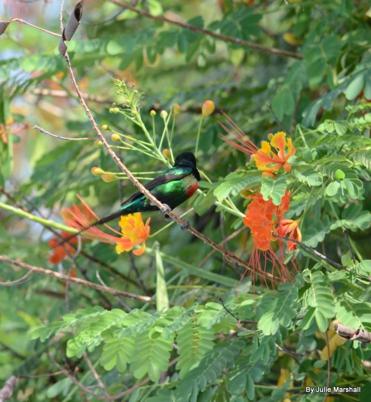 BeautifulSunbird small