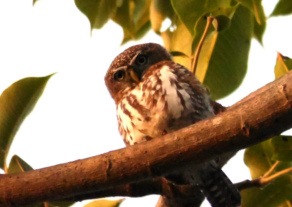 Pearl Spotted Owl 2 Brufut Wood 2 small